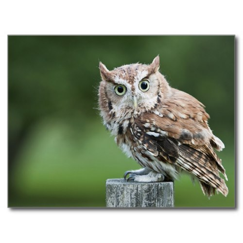 Owl Screech For You | Funny Cute Photo Postcard