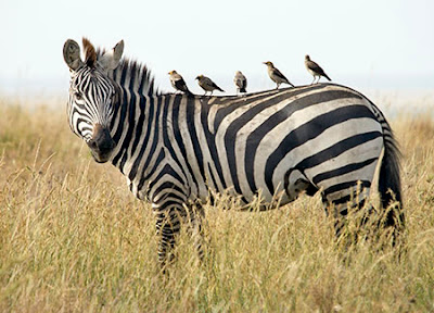 Burung oxpecker dengan zebra