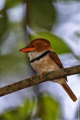 Buco musiú Bucco capensis