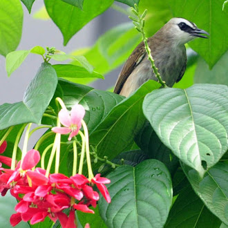 Yellow Vented Bulbul on Quisqalis indica