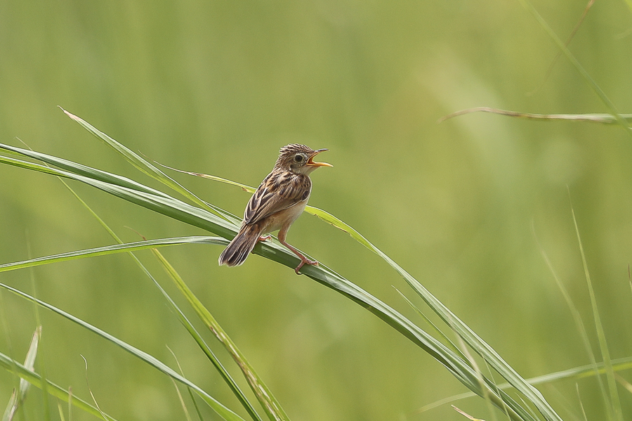 Zitting Costicola
