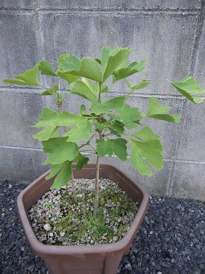 イチョウ 銀杏 鉢植え