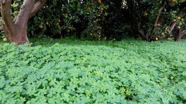 Alfombras de oxalis bajo los naranjos