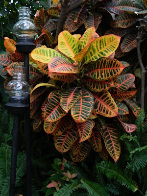 Allan Gardens Conservatory 2017 Christmas Flower Show Codiaeum variegatum Croton by garden muses-not another Toronto gardening blog