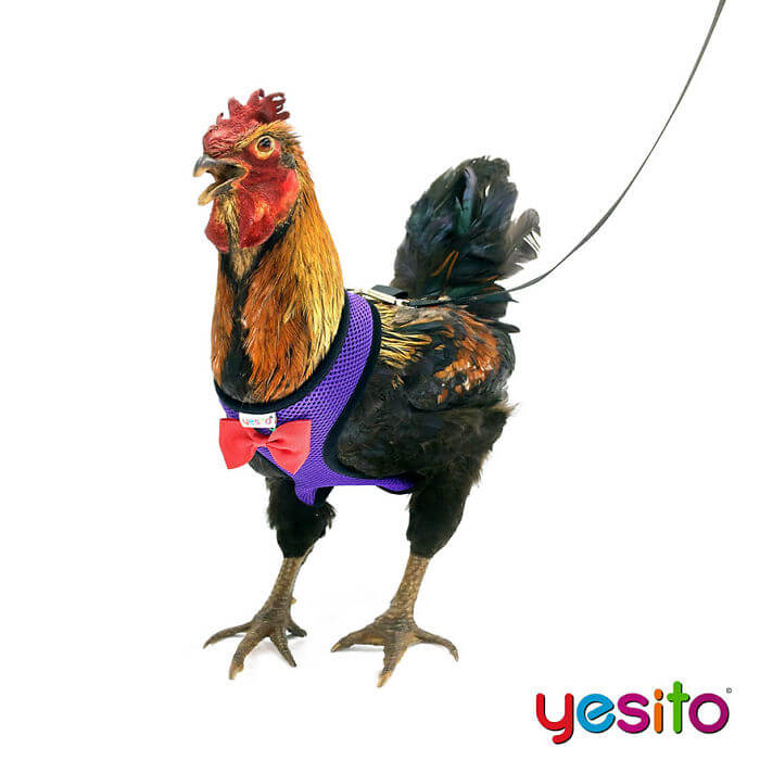 These Amazon Chicken Harnesses Will Help Your Chicken Cross The Road Safely