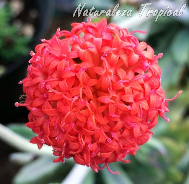 Inflorescencia de la planta Senecio Coral, Senecio fulgens