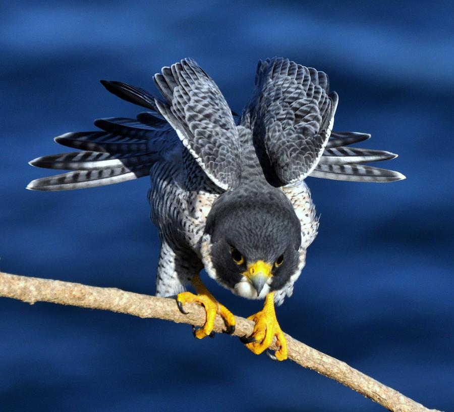 Cute Pig Wallpaper Hd All About Animal Wildlife Peregrine Falcon Wildlife