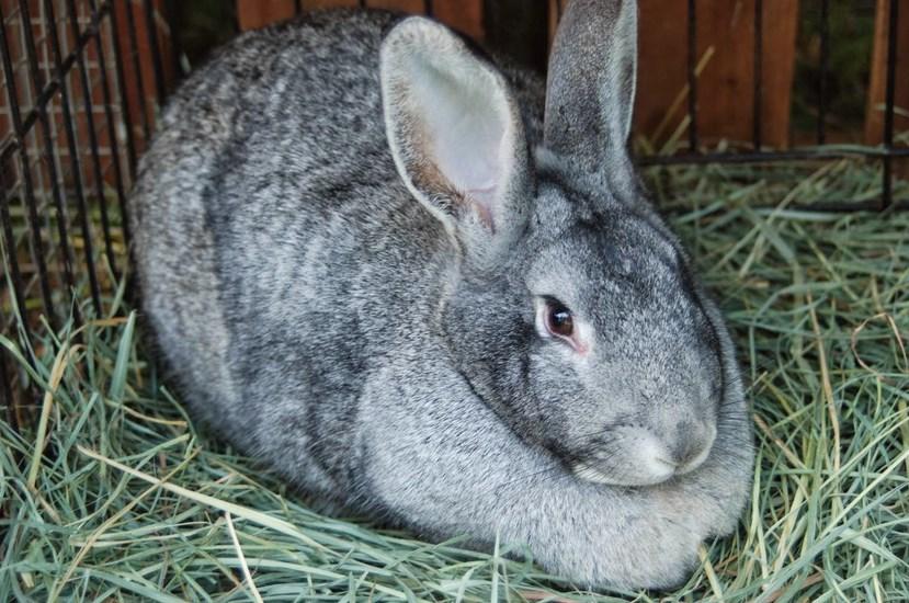 cara memelihara Jenis-jenis Kelinci untuk Dipelahara di Rumah