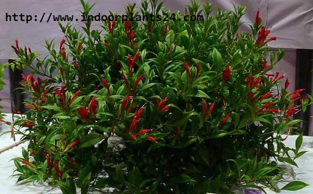 Aeschynanthus lobbianus Gesneriaceae indoor plant picture