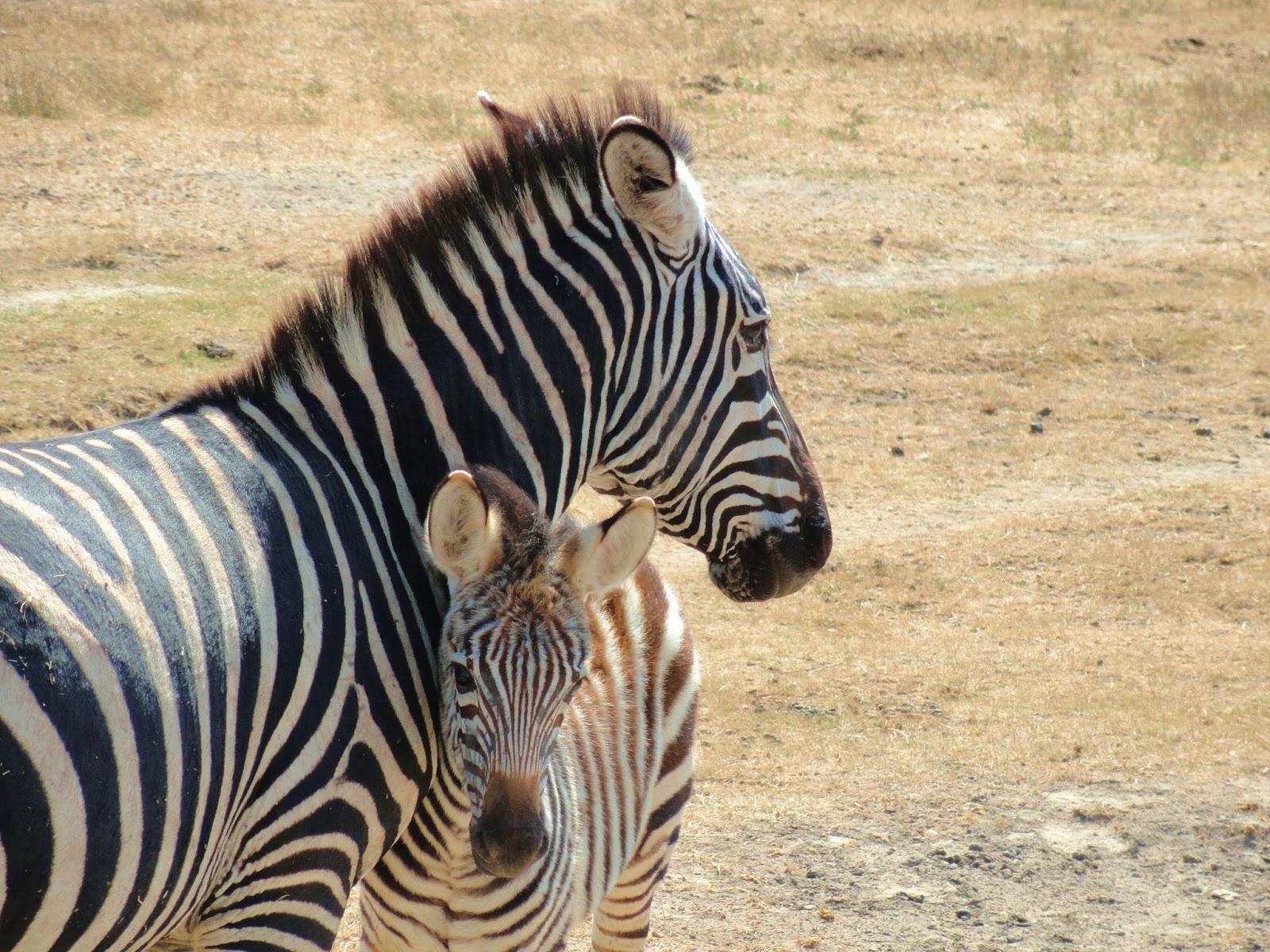 African-Safari-Zebra