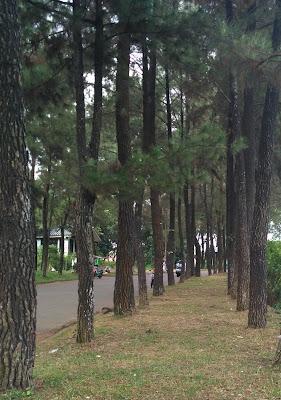 Pohon Pinus di Bilabong