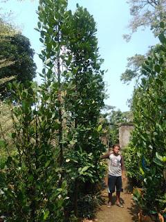 gambar pohon garcinia harga murah