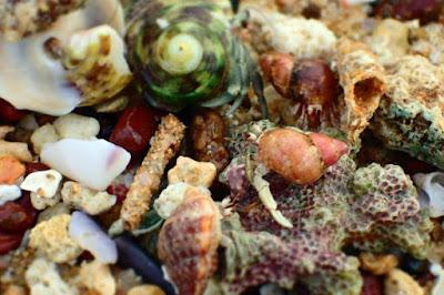 Wie viele Einsiedlerkrebse seht ihr? How many hermit crabs do you count?