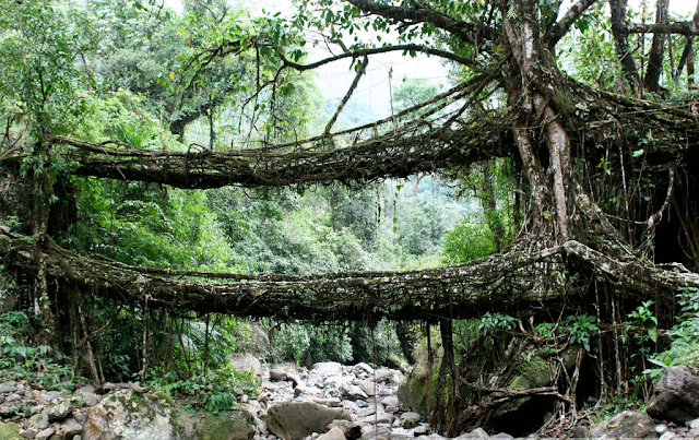 root bridge Cherrapunjee Meghalaya India