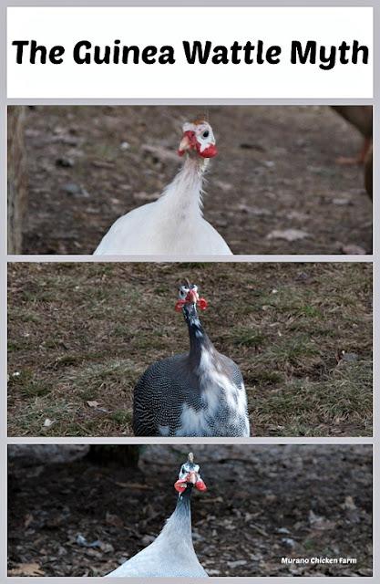 Telling guineas apart
