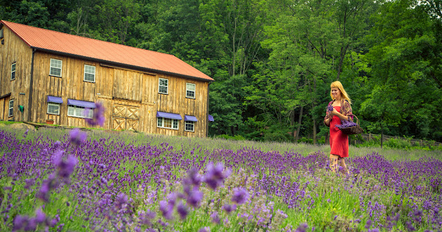 cánh đồng hoa oải hương đẹp nhất thế giới 15