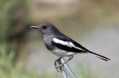 Ciri Fisik Burung Kacer Betina Yang Paling Mudah Dan Akurat