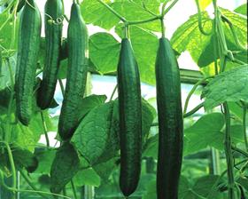 sex met komkommer lekkere geile kont