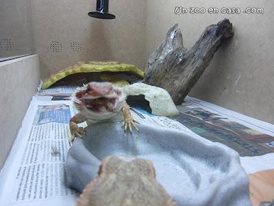 Pogona vitticeps comiendo