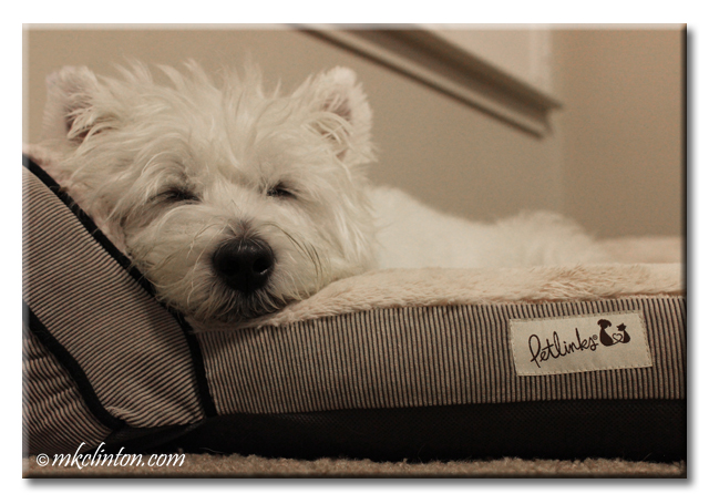 Westie close-up sleeping in bed