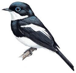 Ward's Flycatcher