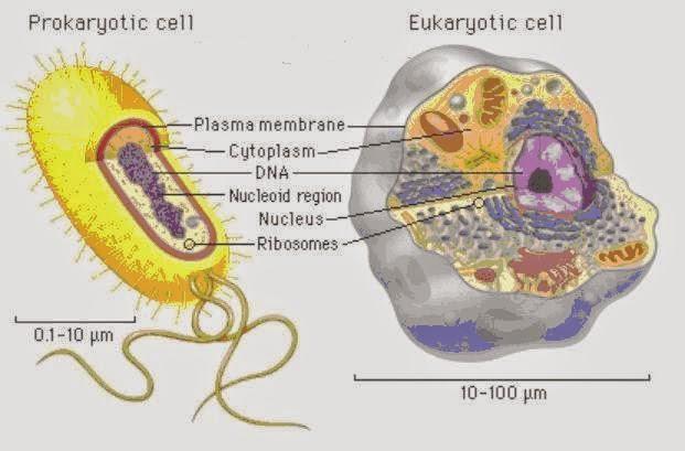 Perbedaan Sel Eukariotik Dan Prokariotik Info Pendidikan Dan Biologi