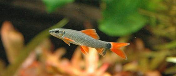 aquascapejuara: Redfin, Si Kecil Ikan Hias Yang Bentuk Dan ...