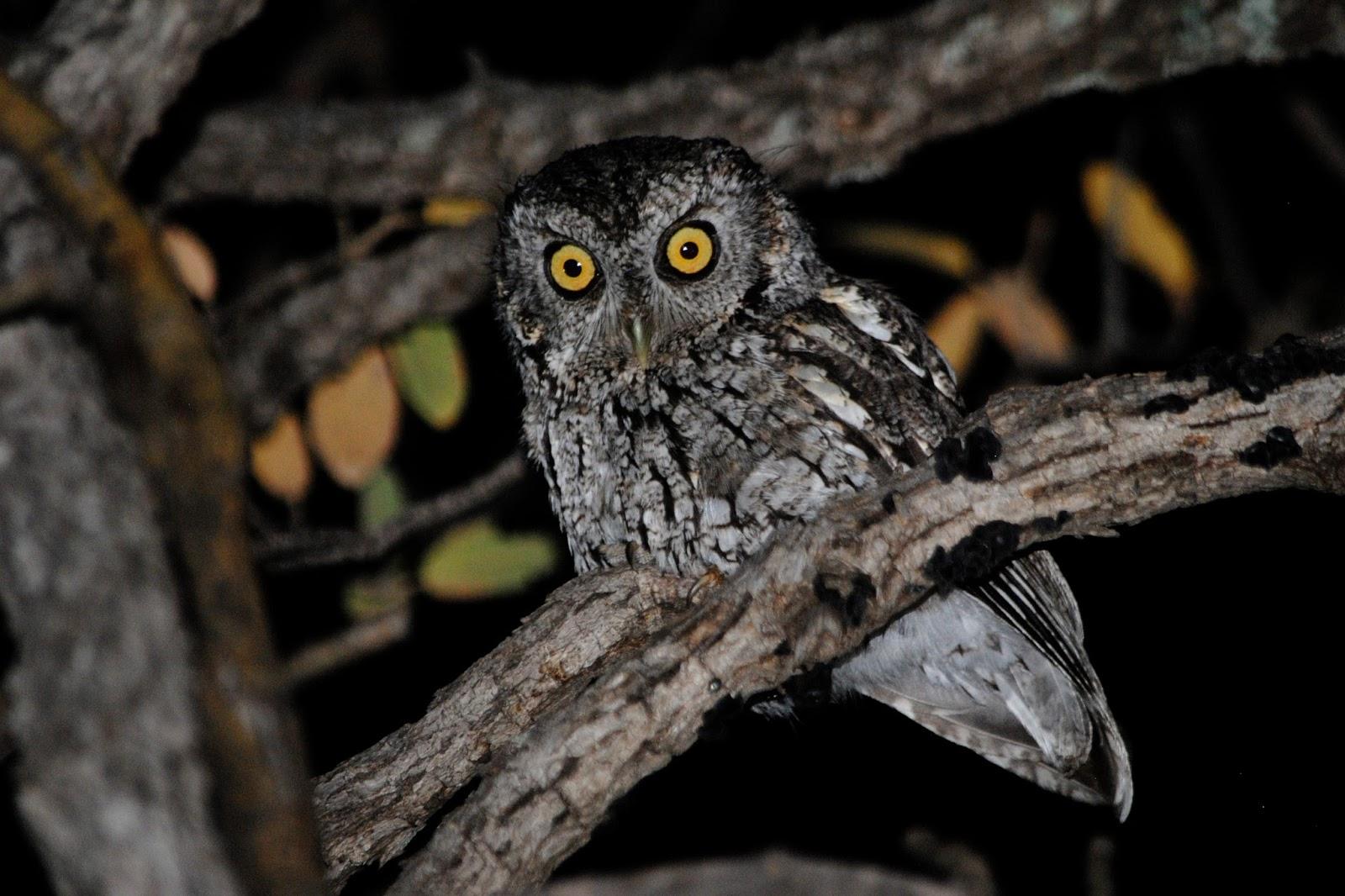 What do screech-owls eat?