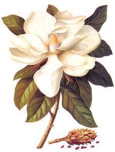 Magnólia (Magnolia grandiflora)