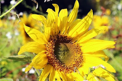 Cara Membuat Bunga Matahari dari Kantong Plastik