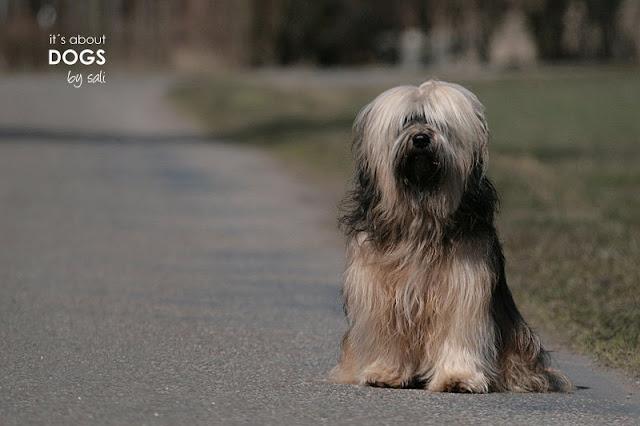 Tibet Terrier Chiru frisch gebadet