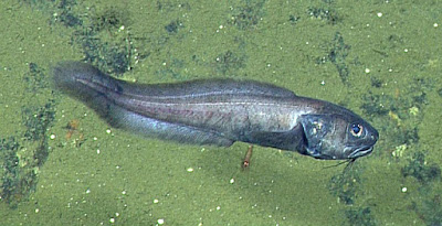 Cusk eels such as this one seem to prefer seafloor areas where oxygen concentrations are extremely low. Planet-today.com