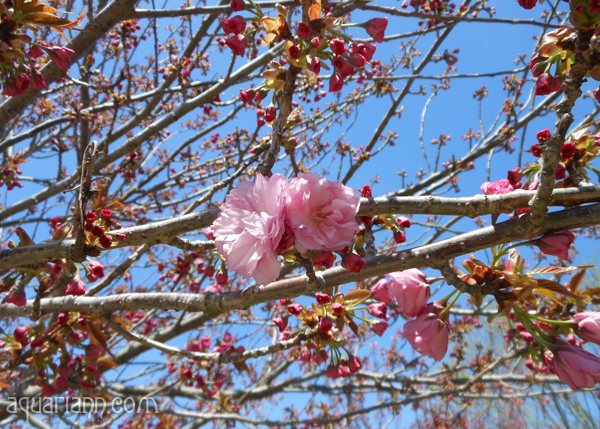 Kwanzan Cherry Tree Buds Photo by Aquariann