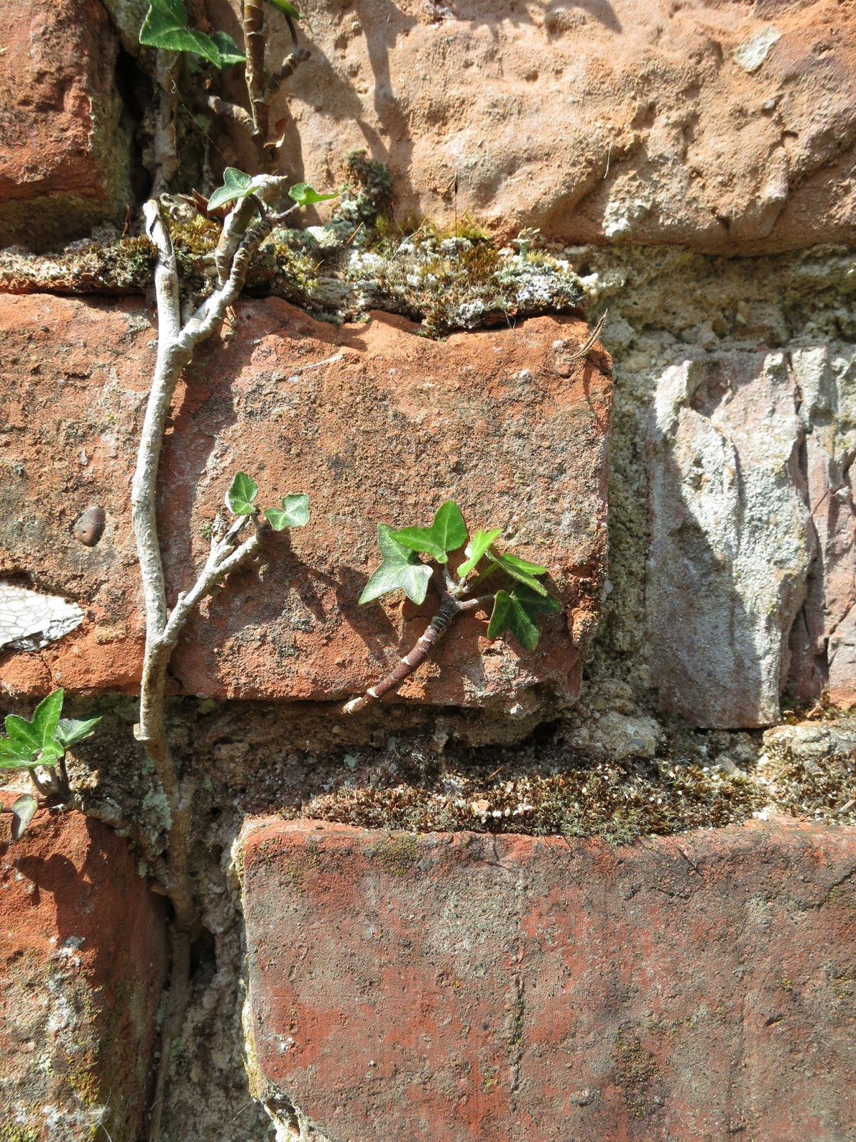 Ivy growing from mortar in old brick wall