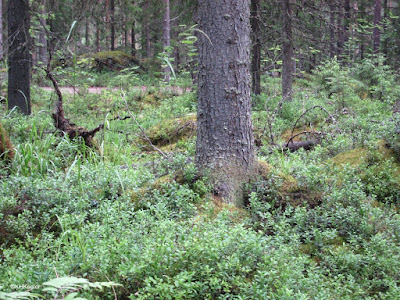 forest, Finland