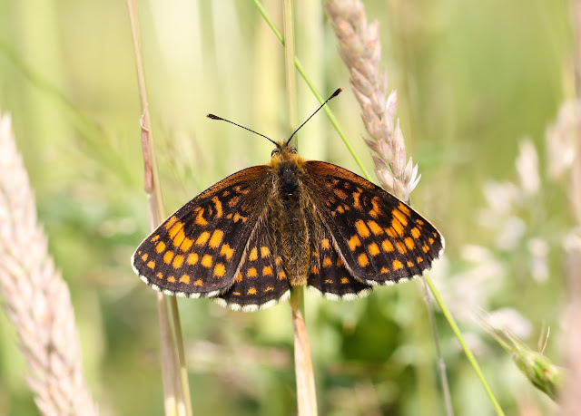 Heath Fritillary - Kent
