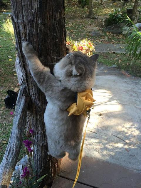 Em mèo béo như khủng long tẩm bột nhưng suốt ngày nũng nịu đeo ba lô cute