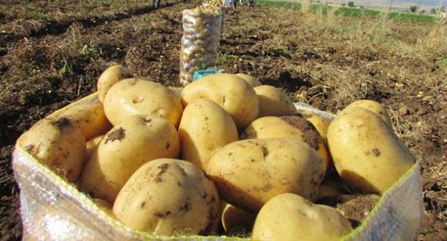 80 طنا من بذار البطاطا ضمن المشروع الوطني للبيوت الشبكية بالسويداء