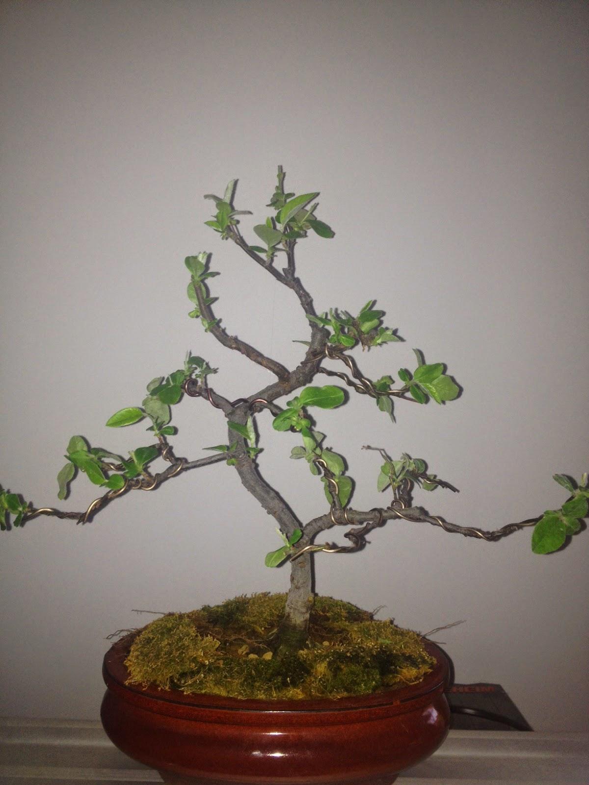 Diario de un bonsai encaminando el membrillo - Bonsai de haya ...