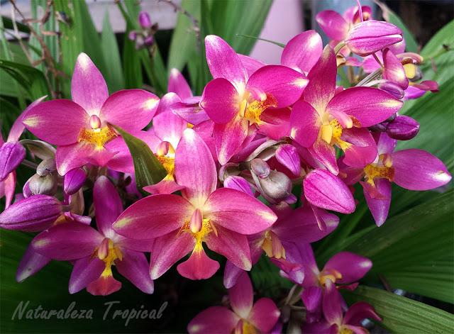 Floración abundante de una orquídea terrestre del género Spathoglottis