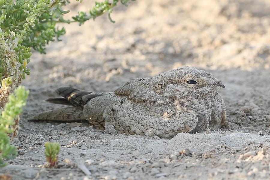Increasing numbers of Egyptian Nightjar – Jubail