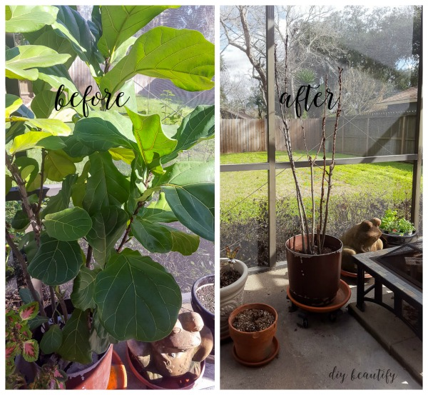 how not to care for a fiddle leaf fig