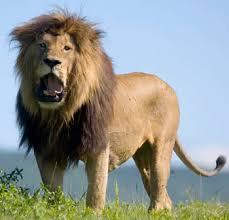 Image Stop penyakit raja singa   spesial penyakit kelamin