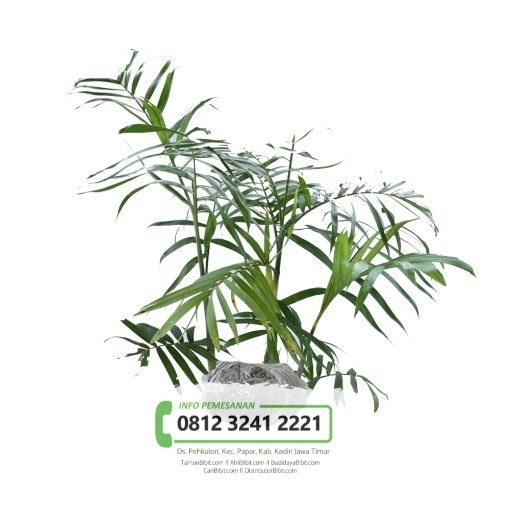 Jual Bibit Pohon Palem Bambu / Komodoria
