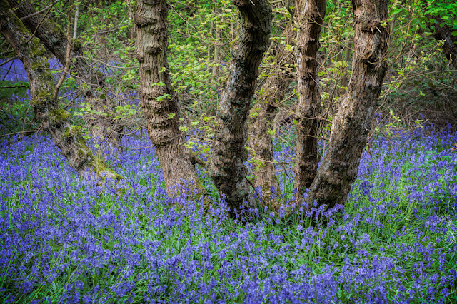 Brampton Wood Nature Reserve in Cambridgeshire full of bluebells