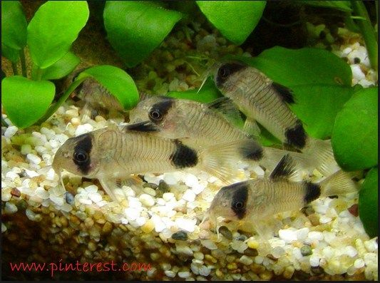 Klasifikasi Ikan Corydoras (Tikus Kecil) Serta Cara Merawatnya