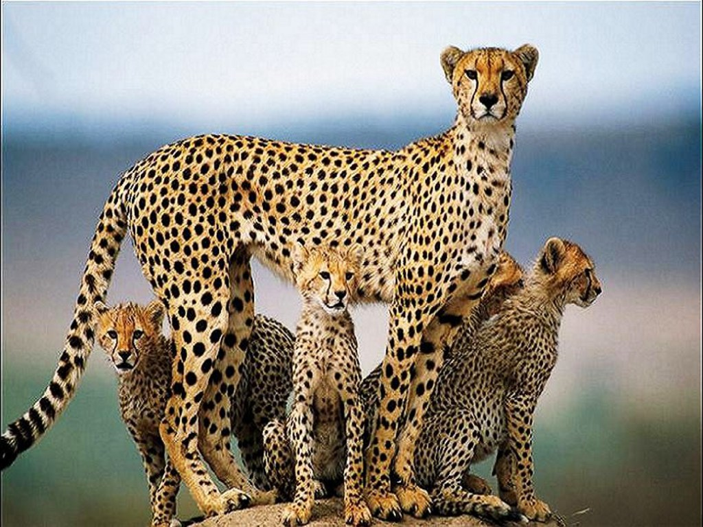 Beautiful Cheetah Latest Hd Wallpapers/Images 2013