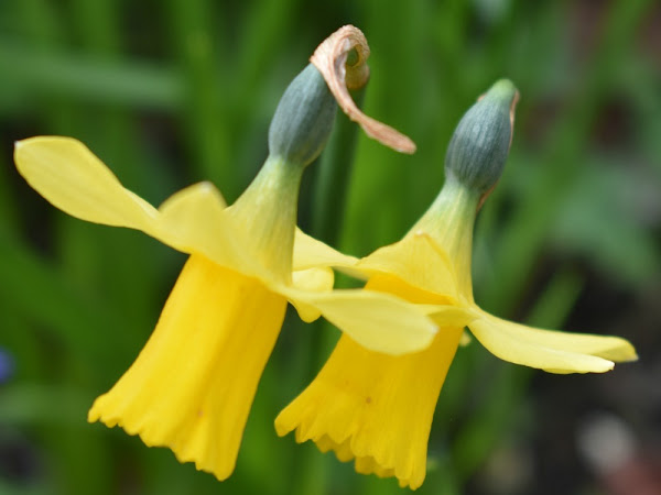 My Sunday Photo - Daffodils