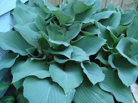 Closeup of Blue Hosta Leaves Foliage