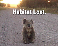 Koalas are forced to travel over open land when their habitat is thinned.